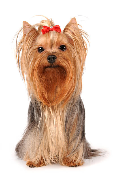 Royalty Free Silhouette Of Yorkie Terrier Haircuts Pictures Images