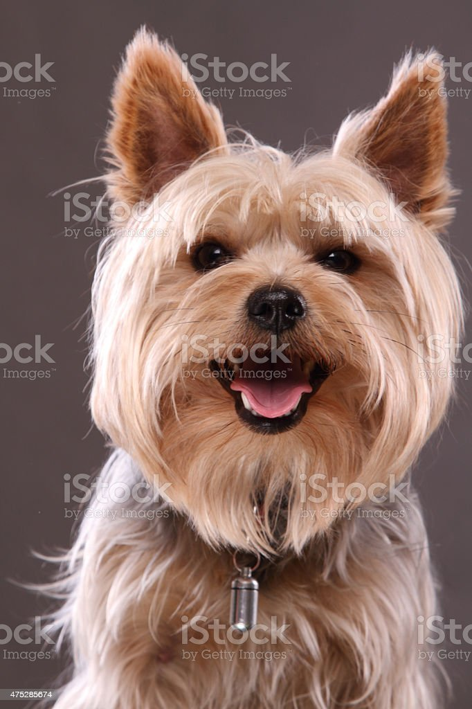 Yorkshire Terrier smiling stock photo