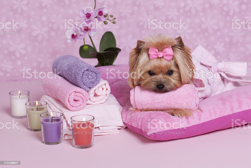 Yorkshire Terrier Spa stock photo