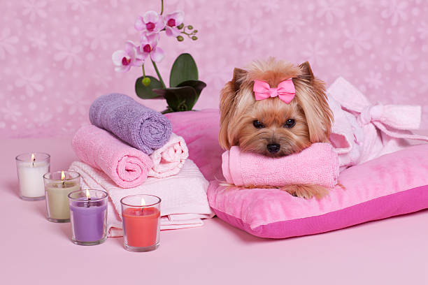 Yorkshire Terrier Spa - Photo