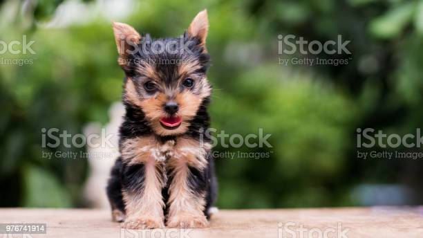 Yorkshire terrier stand on the table in garden picture id976741914?b=1&k=6&m=976741914&s=612x612&h=ne8x bldodhi8tatsnbmwaz7nqy6lry6u1mkgeh94me=