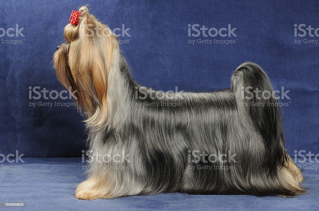 Yorkshire Terrier stands on blue background royalty-free stock photo