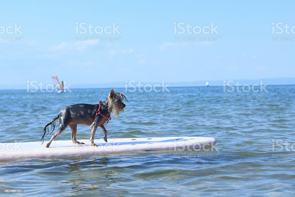 Yorkshire Terrier surfing royalty-free stock photo