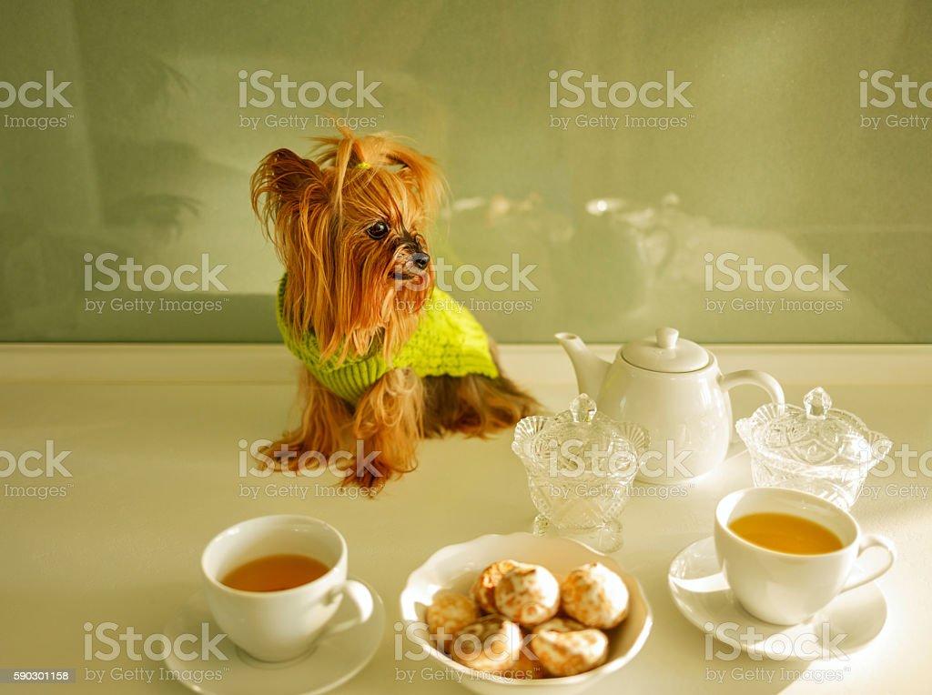 Yorkshire Terrier. Teatime royaltyfri bildbanksbilder