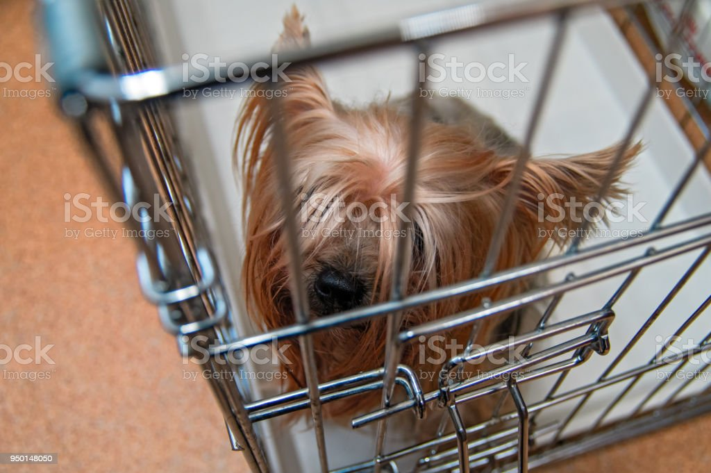 Yorkshire Terrier Uncut Doggie In A Cage Yorkies Dog Top View Stock
