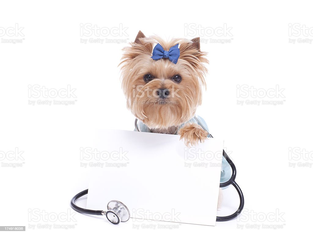 Yorkshire Terrier Veterinarian holding a Blank Sign stock photo