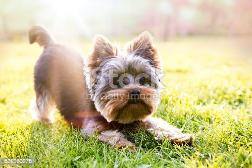 istock Yorkshire terrier waiting for play 526280278