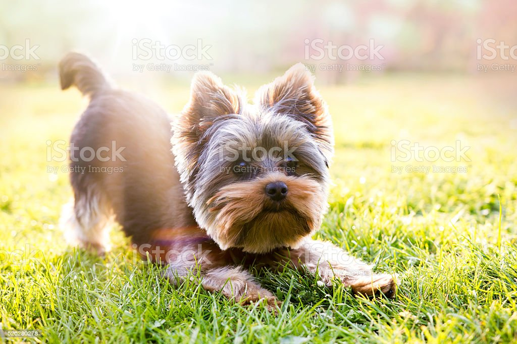 Yorkshire terrier waiting for play stock photo