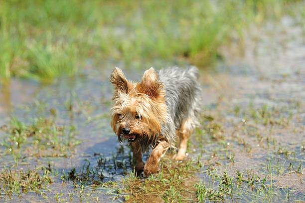 Yorkshire terrier walking through flooded yard or field stock photo