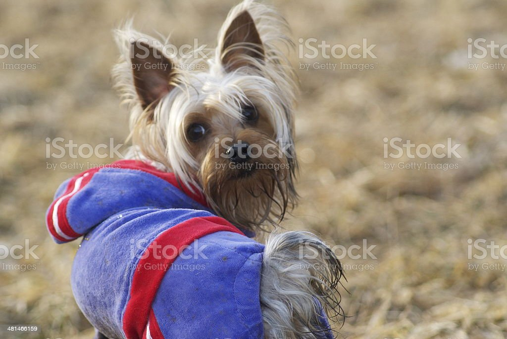 Yorkshire Terrier Wearing a Coat stock photo