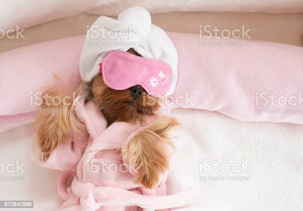 Yorkshire terrier wearing eye mask at the pet grooming salon picture id672642996?b=1&k=6&m=672642996&s=612x612&h=9xqnbrzhuck0gp9pmxhuanpo2zud7tdrbjhlu923qwy=