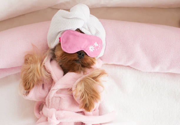 Yorkshire Terrier wearing Eye Mask at the Pet Grooming Salon stock photo