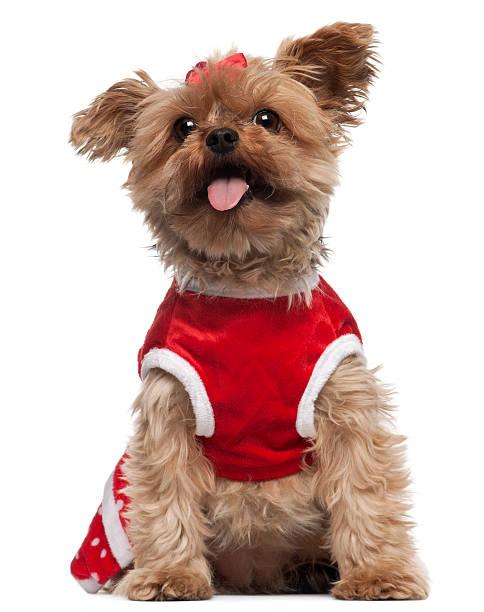 Yorkshire terrier wearing red sitting picture id530939198?b=1&k=6&m=530939198&s=612x612&w=0&h=dsglvh48pjqwr 0gemxbic1nzuj975idqsdxu3gjh88=