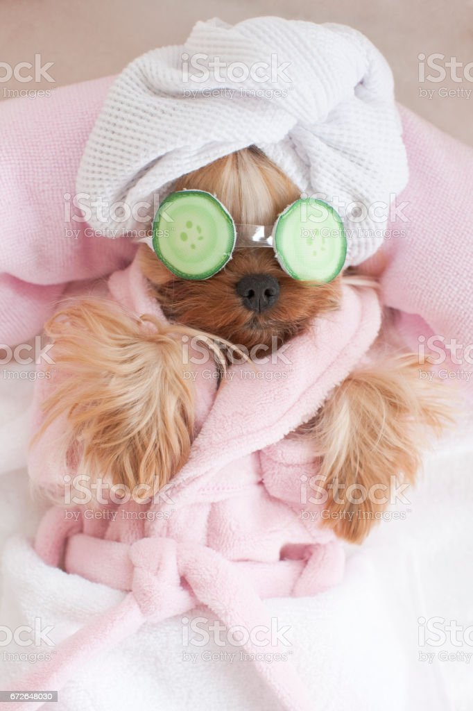 Yorkshire Terrier wearing Sleeping Mask at the Pet Grooming Salon stock photo