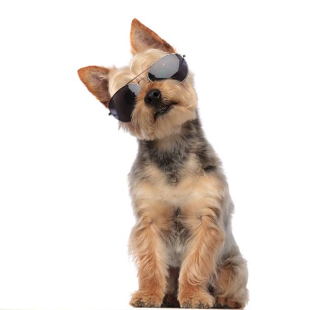 Yorkshire terrier wearing sunglasses and looking confused picture id1149231582?b=1&k=6&m=1149231582&s=612x612&w=0&h= tu50u16mghtakwoq1sj41lcvxpcbauw3rcmybaf1xm=
