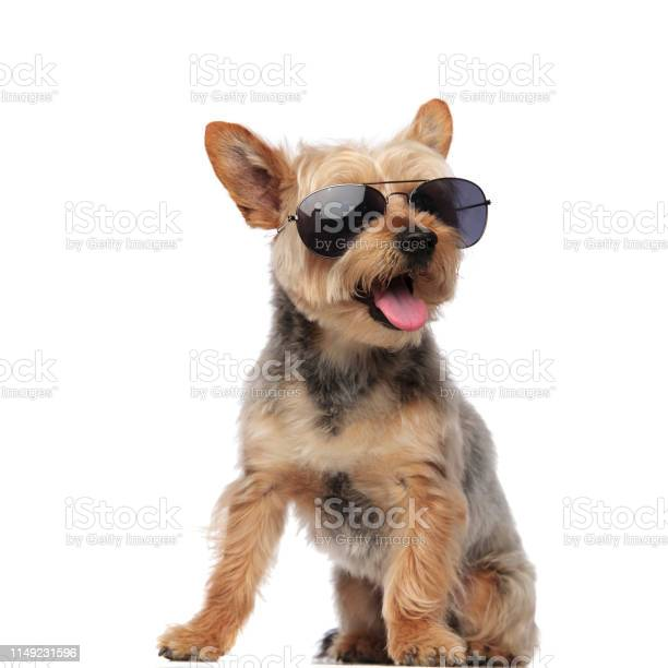 Yorkshire terrier wearing sunglasses and panting picture id1149231596?b=1&k=6&m=1149231596&s=612x612&h= qnctks8kx5uxauaoim4a5xzv3bjwczw03ictxw gn4=