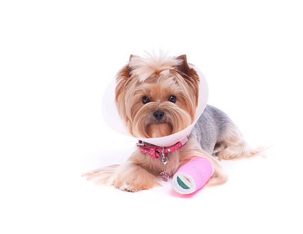 Yorkshire Terrier with a broken leg stock photo