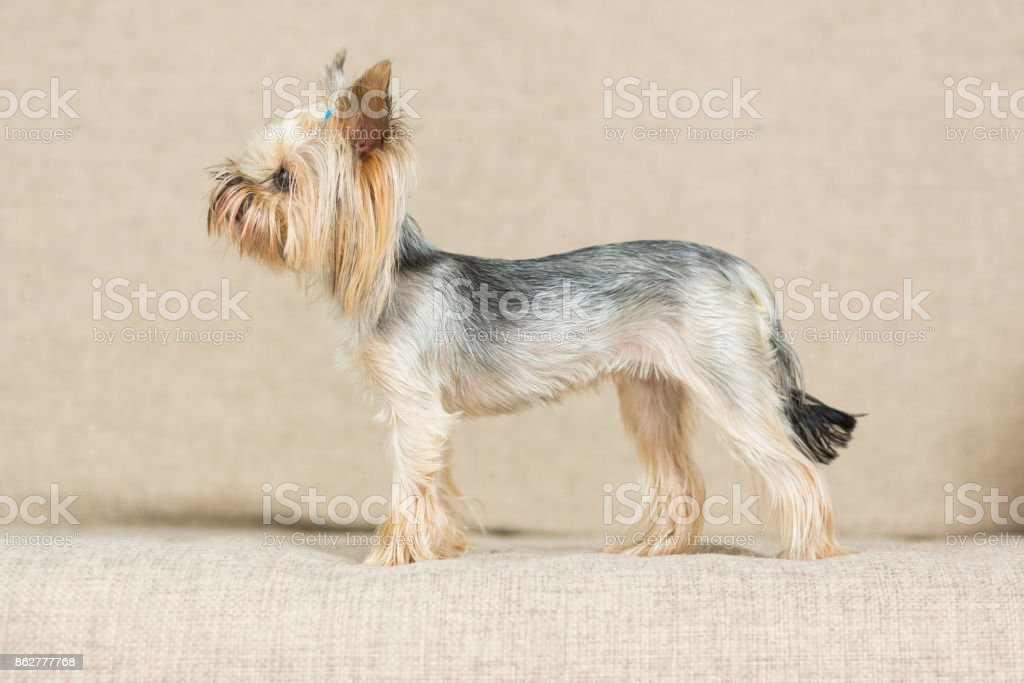 Yorkshire Terrier with a short haircut is on the couch stock photo