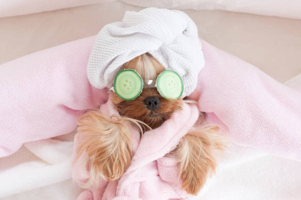 Yorkshire Terrier with Cucumbers on Her Eyes at Grooming Salon Spa stock photo