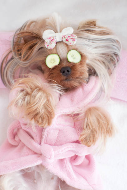 Yorkshire terrier with cucumbers on her eyes at the pet grooming picture id672711286?b=1&k=6&m=672711286&s=612x612&w=0&h=oozhnek4vxqcj3tu9gh nfvlnwofkupuzsiid9i 5l0=