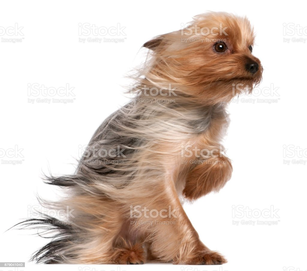 Yorkshire Terrier with hair in the wind, 1 year old, sitting in front of white background stock photo