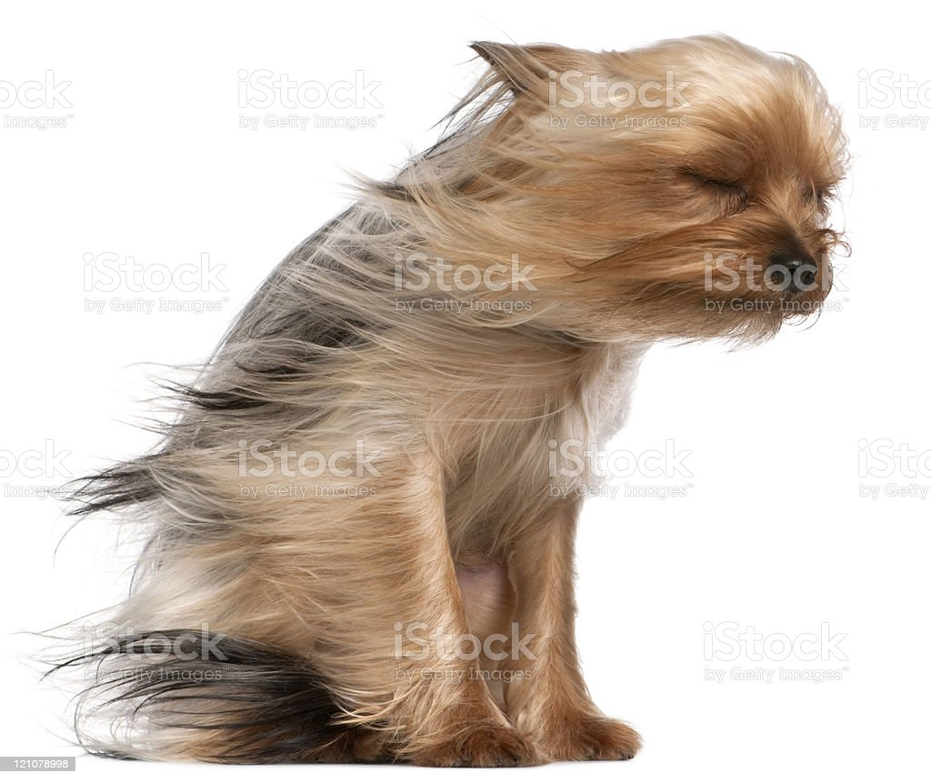 Yorkshire Terrier with hair in the wind, sitting, white background. stock photo