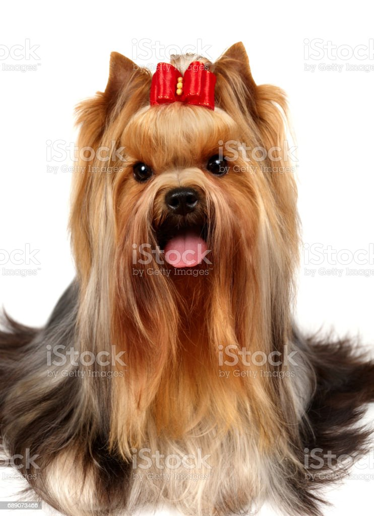Yorkshire Terrier With Long Hair Stock Photo Download