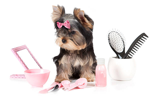 Royalty Free Yorkie Grooming Styles Pictures Images And Stock
