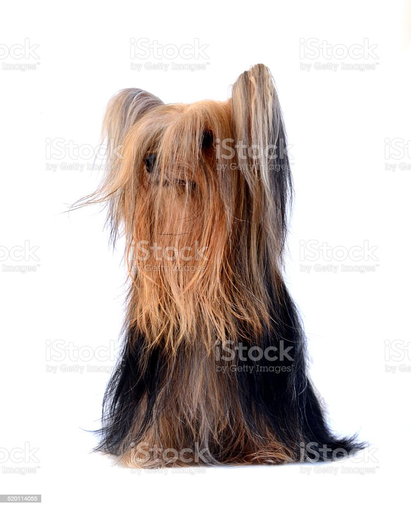 Yorkshire Terrier With Very Long Hair Isolated On Stock Photo