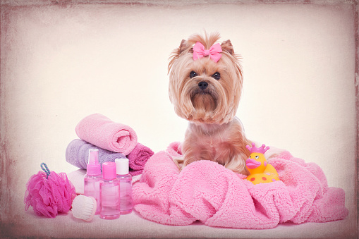 Yorkshire Terrier Wrapped In Pink Towel At The Grooming Salon