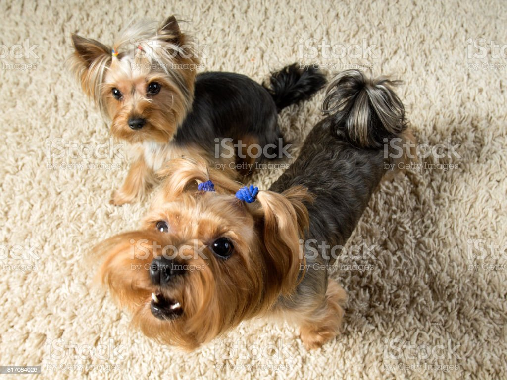 Yorkshire terriers are playing  in the room, one is barking stock photo