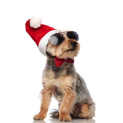 istock Yorkshire Terrierwearing Santa Claus hat, sunglasses and bow tie 1149231875
