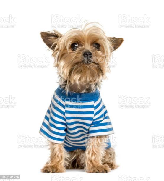 Yorkshire wearing a stripped blue tshirt isolated on white picture id861194970?b=1&k=6&m=861194970&s=612x612&h=dm8yxkqysugyqqwx n2fkf2jehy o6delasdytuzgiq=