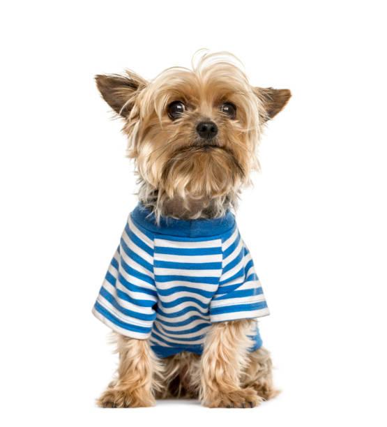 Yorkshire wearing a stripped blue tshirt isolated on white picture id861194970?b=1&k=6&m=861194970&s=612x612&w=0&h=jemc761homilyevldemz3ss cdydleaxfg0qjezgk70=