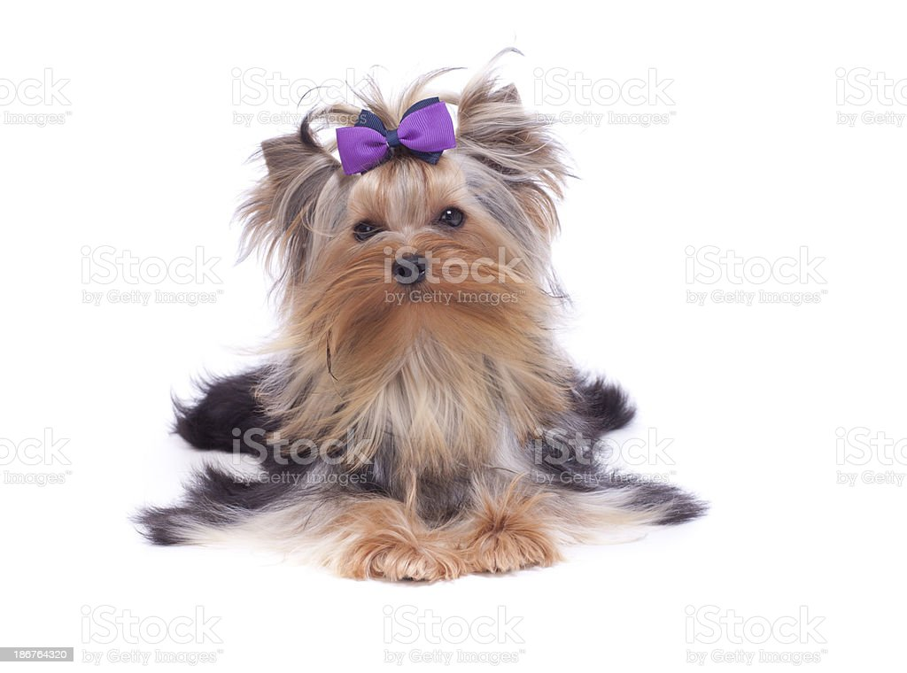Yorkshirer Terrier royalty-free stock photo