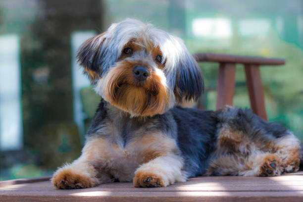 Yorshire Terrier puppy sitting on a deckchair looking cute in a garden in Hout Bay, Cape Town. Yorkshire Terrier puppy posing and playing in a garden in Hout Bay, Cape Town. hout stock pictures, royalty-free photos & images