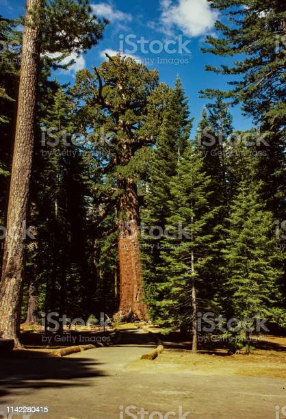 Yosemite National Park - Grizzly Giant - 1978