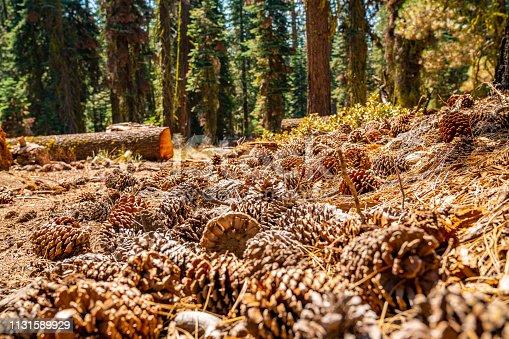 Yosemite National park huge pine cones