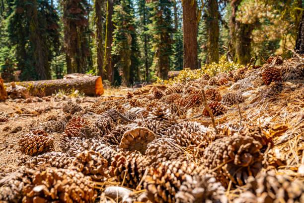 parc national de yosemite énormes cônes de pin - organisme vivant photos et images de collection