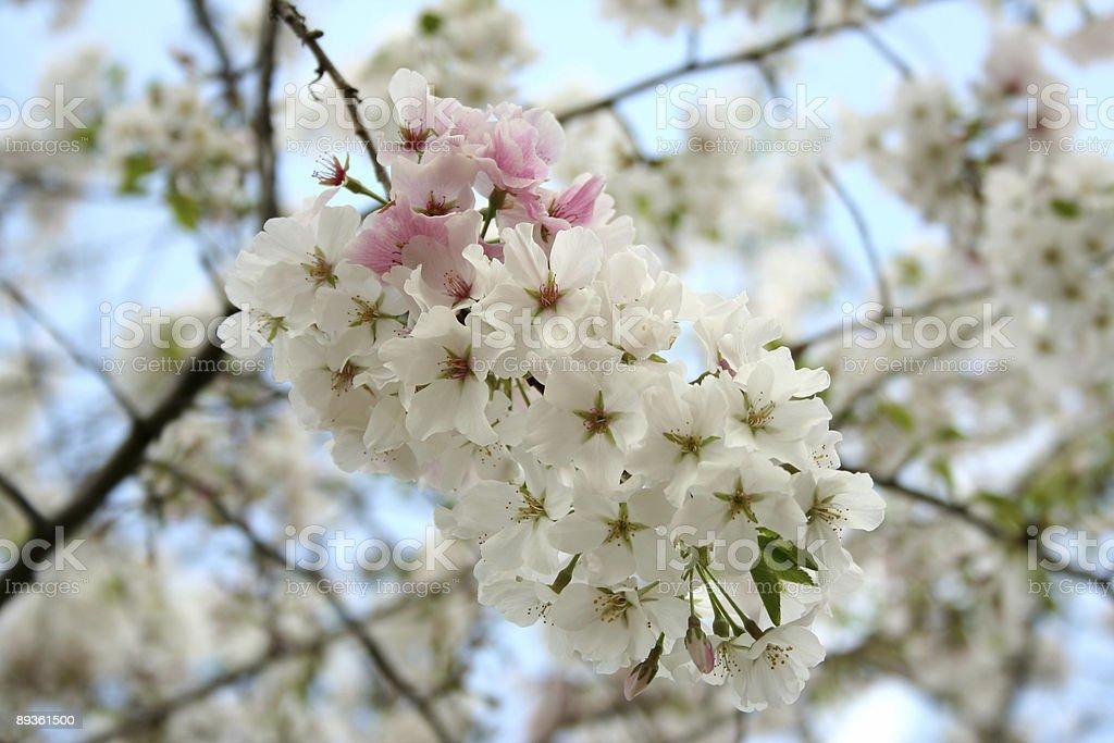 Yoshino Cherry Blossoms royaltyfri bildbanksbilder