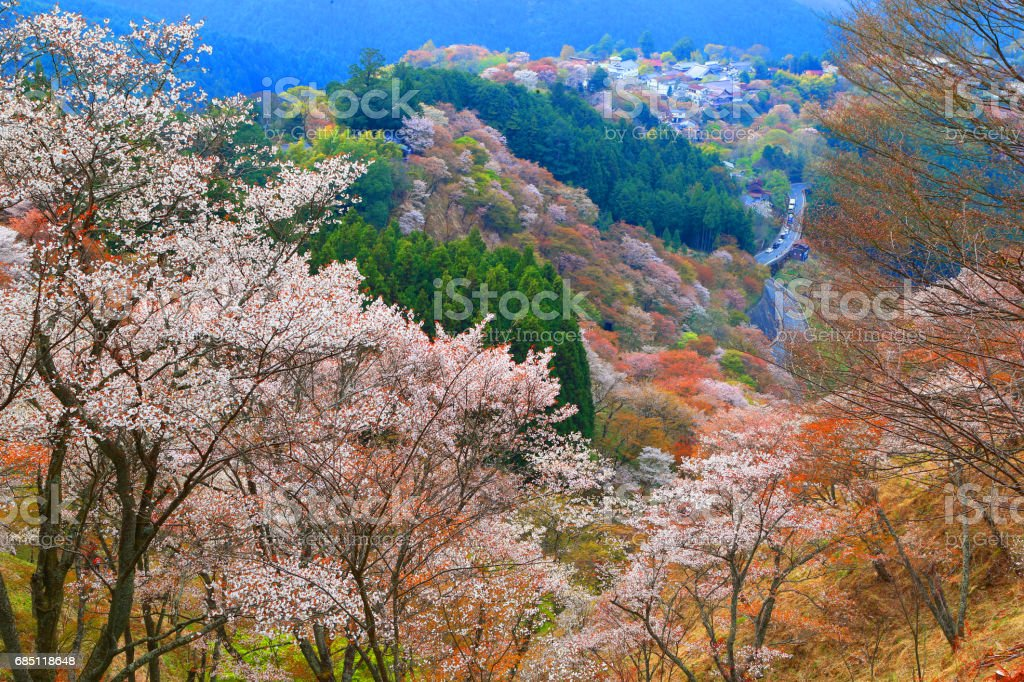 Yoshino Cherry Trees in Japan royalty-free stock photo