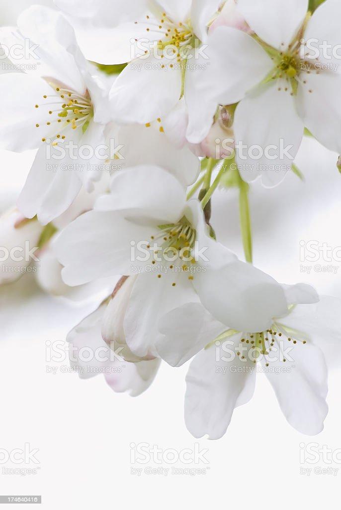 Yoshino flowering cherry tree - II royalty-free stock photo