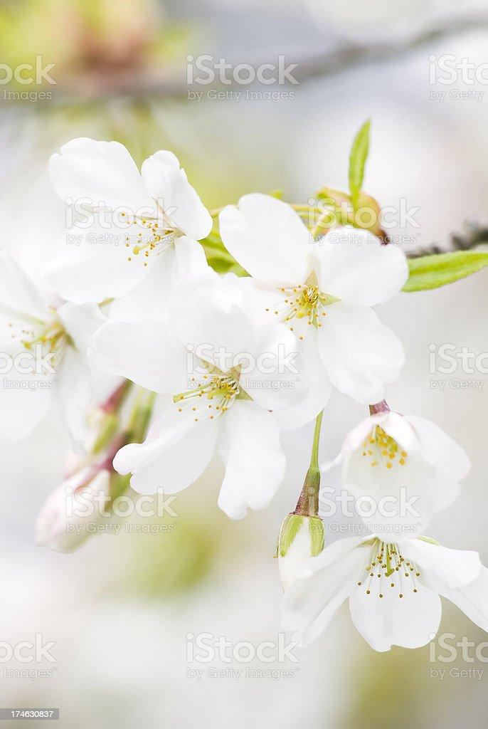 Yoshino flowering cherry tree - III royalty-free stock photo