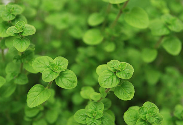 You can use fresh oregano to do a delicious cheese pizza  Close-up shot of oregano.Shallow dof. oregano stock pictures, royalty-free photos & images