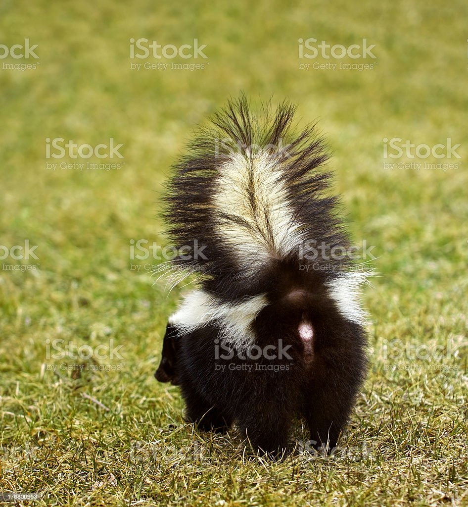 You Don't Wanna Be Here Striped Skunk stock photo