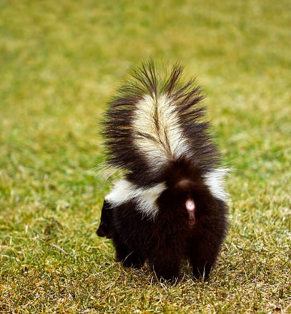 you don't wanna be here striped skunk - skunk stock photos and pictures