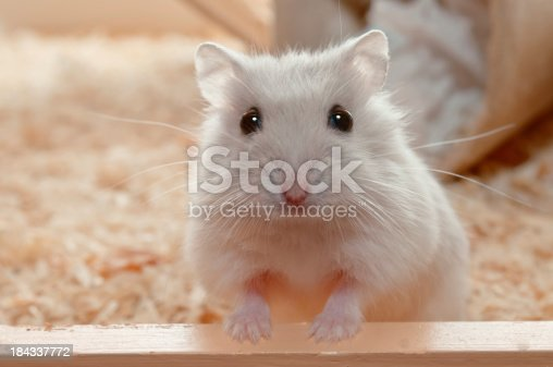 Yes? You have called me? Highkey photo of a Djungarian dwarf hamster - 6 weeks old.
