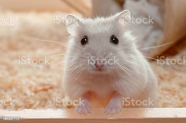 You have called me dwarf hamster 6 weeks old picture id184337772?b=1&k=6&m=184337772&s=612x612&h=yjcqfmx7rhn pgfwd8lscbxoh4z9amxgr1usd2ki0eg=