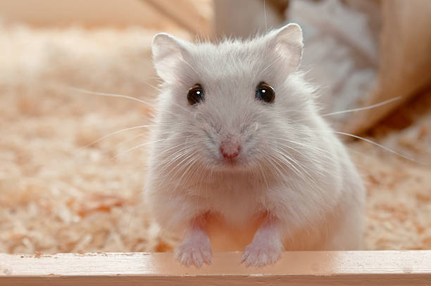 You have called me? Dwarf Hamster - 6 weeks old stock photo