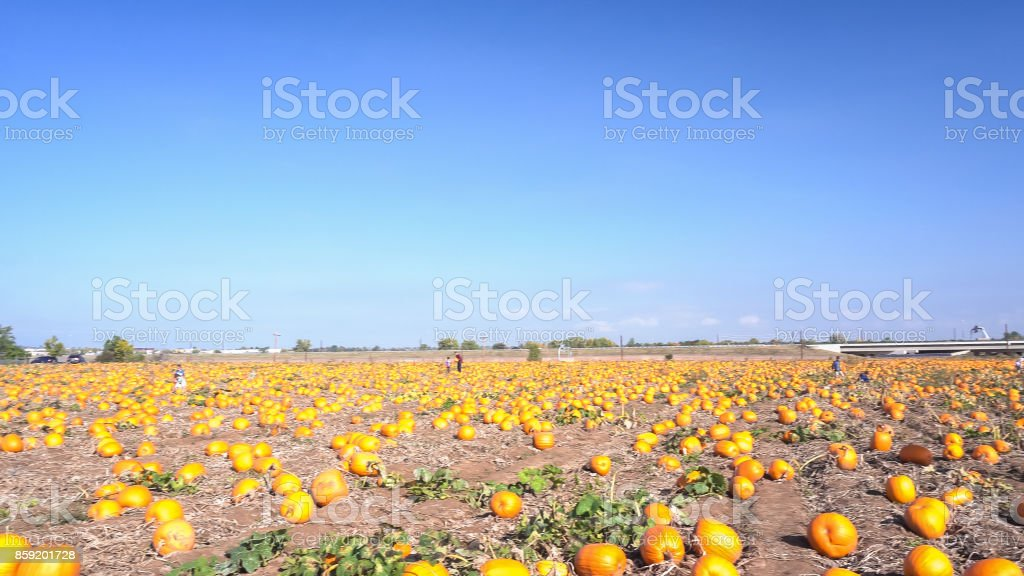 You pick large pumpkin patch early in the season. stock photo
